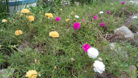 Kwiat menchie, biel, koloru żółtego ogród obrazy royalty free