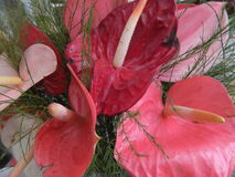 Kwiat menchie i czerwień obraz royalty free