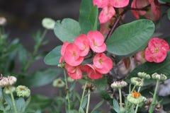 Kwiat menchii kwiatu piękno piękny obrazy royalty free