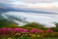 kwiat mgłowa łąki obrazy stock