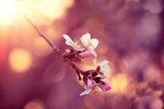 Kwiat migdałowy zakończenie Zdjęcia Royalty Free
