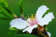 kwiat migdałowy drzewo. Obraz Stock
