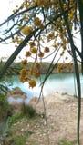 Kwiat mimozy drzewo obraz stock