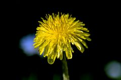 kwiat mniszek mokre Obraz Royalty Free