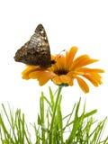 kwiat motyla Obraz Stock