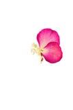 kwiat motylia prasa Obraz Stock