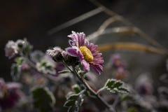 kwiat mrożone zdjęcie stock