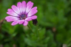 Kwiat na deszczowym dniu z deszczem opuszcza przylegać kwiatów płatki fotografia stock