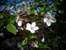 Kwiat na drzewie biały kolor Obraz Royalty Free