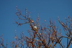 Kwiat na drzewne morele Zdjęcia Stock