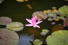 Kwiat na jeziorze Obraz Stock