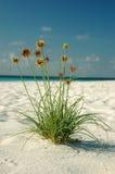 kwiat na plaży Fotografia Royalty Free