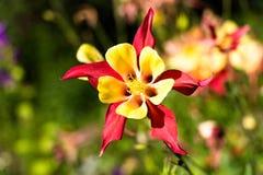 Kwiat należy rodzina jaskiery i dzwoni Aguilera, lub ja także dzwoni Watersboro lub Eagles fotografia stock