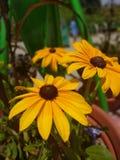 Kwiat natury koloru żółtego słoneczniki obraz royalty free