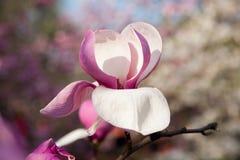 Kwiat natury prezenta wciąż życia lata menchii wizerunku gratulacyjna magnolia Fotografia Royalty Free