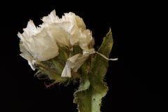 kwiat nie żyje Fotografia Stock