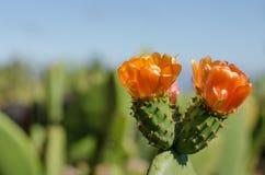 Kwiat nopal kaktus zdjęcia stock