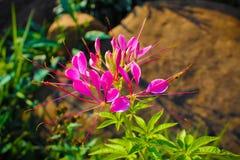 Kwiat obrazuje Thailand obraz royalty free