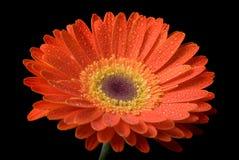 kwiat odizolowane Obrazy Royalty Free