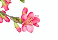 kwiat odizolowywający Obraz Royalty Free