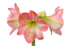 Kwitnący amarylek zdjęcie stock
