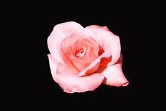 Kwiat odizolowywający na czarnym tle Fotografia Royalty Free