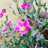 KWIAT Ogrodowych menchii kwiatów zielone fotografie Zdjęcie Stock