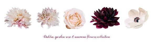 Kwiat Ogrodowych menchii róża, dalia Anemonowego projektanta różni kwiaty naturalna brzoskwinia, Burgundy czerwone światło - różo royalty ilustracja