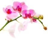 Kwiat - okwitnięcie orchidea Zdjęcia Royalty Free