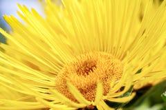 Kwiat Omanowy Inula Helenium zdjęcia stock