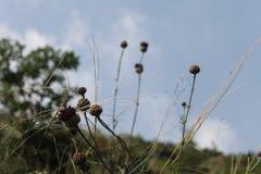 Kwiat łopian Zdjęcie Stock