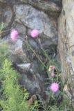 Kwiat łopian Obrazy Royalty Free