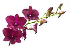 kwiat orchidea zdjęcie stock