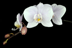 kwiat orchidea obrazy royalty free