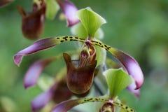 kwiat orchidea Zdjęcie Royalty Free