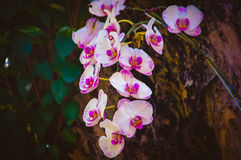 kwiat orchidea Obrazy Royalty Free
