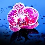Kwiat orchidea w wodnych kroplach Obraz Stock