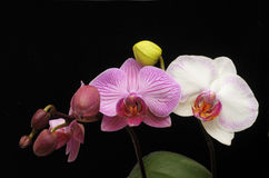 kwiat orchidee różowią biel fotografia stock