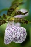kwiat orchidei Zdjęcie Stock