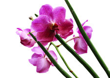kwiat orchidei Obrazy Royalty Free