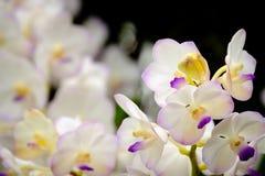 kwiat orchidei piękna Orchidee zamykają up, Purpurowa Vanda orchidea W zdjęcia royalty free