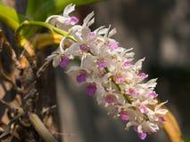 kwiat orchidei piękna Zdjęcia Stock
