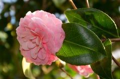 Kwiat ornamentacyjny krzak Zdjęcie Royalty Free