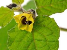 Kwiat pęcherzyca Fotografia Stock