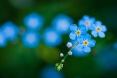 Kwiat panna młoda Obrazy Royalty Free