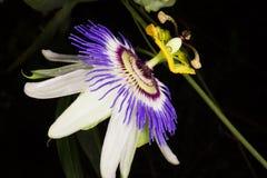 Kwiat passiflora caerulea Fotografia Stock