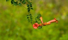 kwiat pełzacza winorośli na trąbce zdjęcia royalty free
