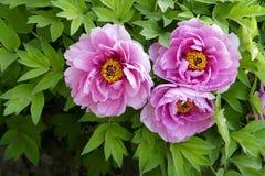 kwiat peonia obrazy stock