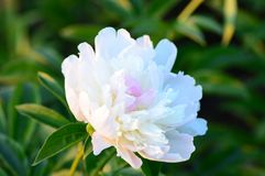Kwiat peonia Obrazy Royalty Free