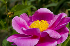 kwiat peonia Obraz Stock